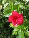 Rotes Blumen Lizenzfreies Stockbild