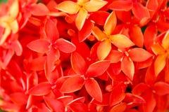 Rotes Blumenblühen Lizenzfreie Stockfotos