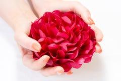 Rotes Blumenblatt in Frau ` s Händen lokalisiert auf weißem Hintergrund Stockfotos