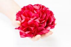 Rotes Blumenblatt in Frau ` s Händen lokalisiert auf weißem Hintergrund Lizenzfreies Stockbild