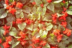 Rotes Blumenfeld Stockbilder
