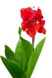 Rotes Canna Stockbild