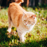 Rotes Cat Sitting In Green Spring-Gras Lizenzfreie Stockfotografie