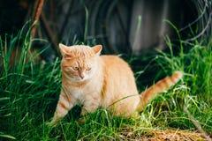 Rotes Cat Sitting In Green Spring-Gras Lizenzfreie Stockfotos