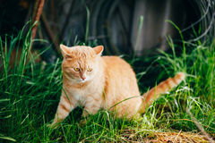Rotes Cat Sitting In Green Spring-Gras Stockfoto