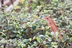 Rotes Chamäleon im Park Thailand Lizenzfreies Stockfoto