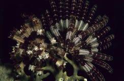 Rotes crinoid auf Koralle Stockfotografie