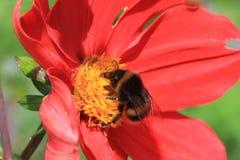 Rotes Dalhia mit Biene Stockbilder