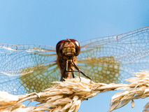 Rotes Dragofly schaut oben auf Brown-Korn lizenzfreie stockbilder