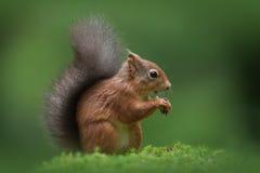 Rotes Eichhörnchen Lizenzfreie Stockfotos