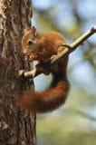 Rotes Eichhörnchen Lizenzfreie Stockfotografie