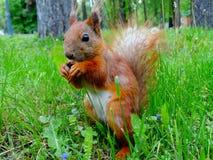 Rotes Eichhörnchen Stockfotografie