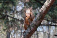 Rotes Eichhörnchen auf Baum 2 Stockfoto