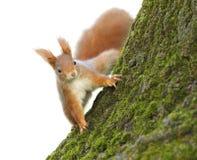 Rotes Eichhörnchen auf Baum Lizenzfreies Stockfoto