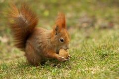 Rotes Eichhörnchen auf dem Gras, das Walnuss isst Stockbilder