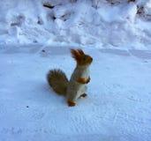 Rotes Eichhörnchen auf dem Schnee lizenzfreie stockfotografie
