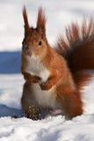 Rotes Eichhörnchen auf Schnee Stockfoto