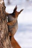 Rotes Eichhörnchen, das am Baum hängt Lizenzfreies Stockfoto