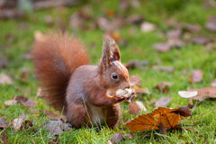 Rotes Eichhörnchen, das eine Erdnuss isst lizenzfreie stockfotografie