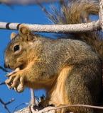 Rotes Eichhörnchen, das eine Erdnuss isst stockbilder
