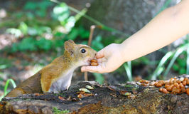 Rotes Eichhörnchen, das Erdnüsse isst Stockbild