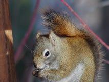 Rotes Eichhörnchen im Baum Stockfotografie