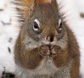 Rotes Eichhörnchen im Baum Lizenzfreie Stockbilder