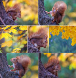 Rotes Eichhörnchen im Baum Stockbilder