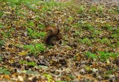 Rotes Eichhörnchen im Wald Lizenzfreies Stockbild