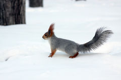Rotes Eichhörnchen im Winter Stockfoto
