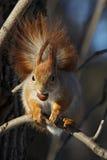 Rotes Eichhörnchen mit einer Nuss auf einer Niederlassung lizenzfreie stockbilder