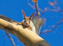 Rotes Eichhörnchen (Sciurus gemein) Lizenzfreies Stockfoto