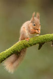 Rotes Eichhörnchen-Speicherung Stockfoto
