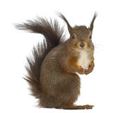 Rotes Eichhörnchen Stockbild