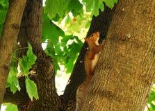 Rotes Eichhörnchen herauf einen Baum Stockfotografie