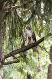 Rotes Endstück Hawk Perched auf einem Baumast Stockfotografie