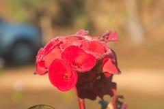 Rotes Euphorbiengummi milii blüht bloomingPoi Sian Lizenzfreies Stockbild