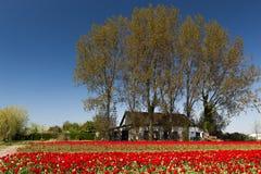 Rotes Feld von Tulpen mit im Hintergrund eine kleine Halle nahe Lisse lizenzfreies stockbild