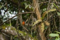 Rotes fody auf den Tropeninseln der Seychellen lizenzfreies stockbild