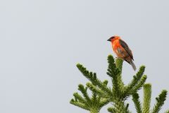 Rotes Fody auf einem Baum Lizenzfreies Stockfoto