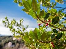 Rotes Fruchtwachsen auf einem Baum auf dem Gebiet und dem bewölkten blauen Himmel lizenzfreie stockfotos