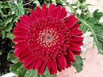 Rotes Gänseblümchen Stockfoto