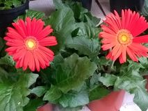 Rotes Gänseblümchen stockbilder