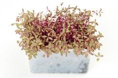 Rotes Garten orache microgreen im weißen Plastikbehälter Lizenzfreie Stockfotos