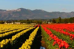 Rotes gelbes Tulpenfeld Stockbilder