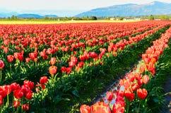 Rotes gelbes Tulpenfeld Stockfoto