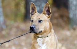 Rotes gemischter Zuchthund Heeler cattledog Lizenzfreies Stockfoto