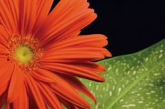 Rotes gerber Gänseblümchen und linke Hand des Blattes Stockfotos
