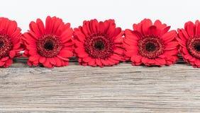Rotes Gerbera-Gänseblümchen blüht Grenze Lizenzfreie Stockfotografie