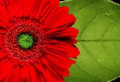 Rotes Gerberagänseblümchen und -blatt Lizenzfreie Stockfotografie
